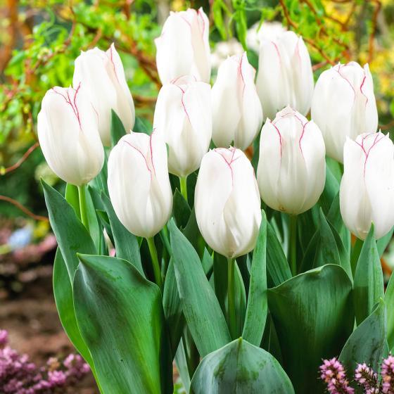 Tulpe Diamond Jubilee