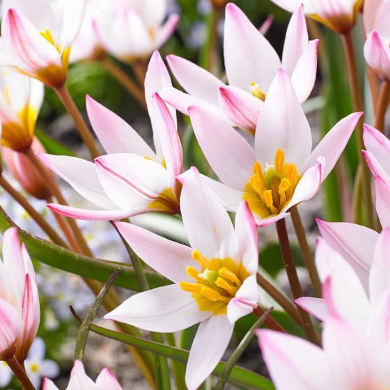 Tulpe Hilde