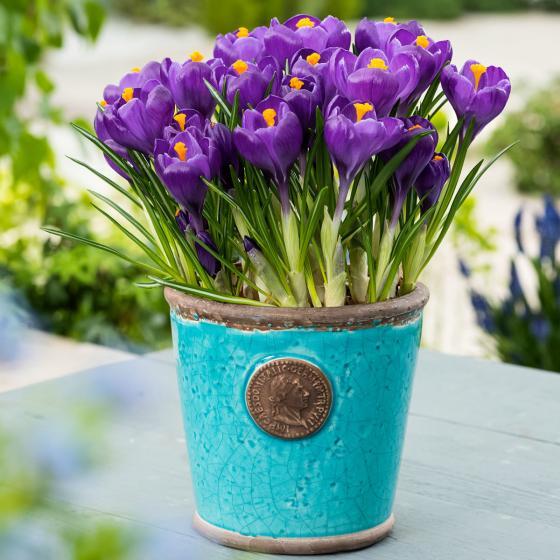 Gartenkrokus Flower Record