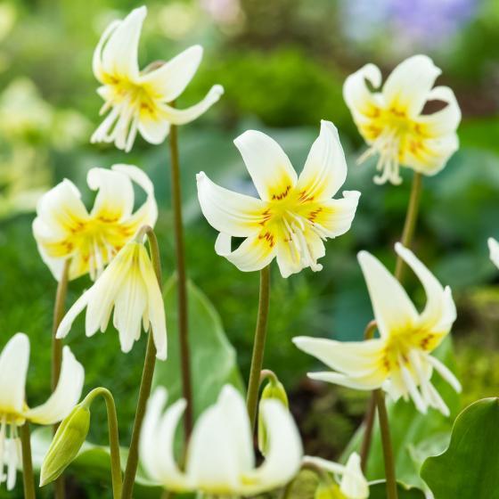 Forellenlilie White Beauty