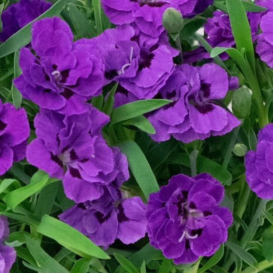 Nelke Blue, im ca. 13 cm-Topf