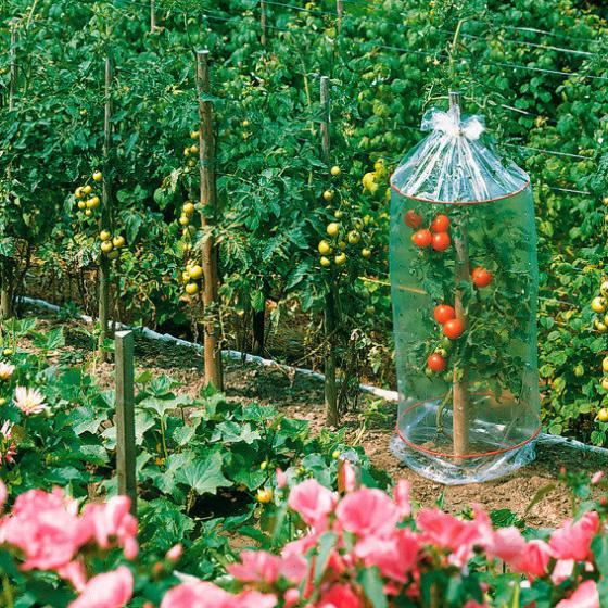 tomatenhauben 3 st ck von g rtner p tschke. Black Bedroom Furniture Sets. Home Design Ideas