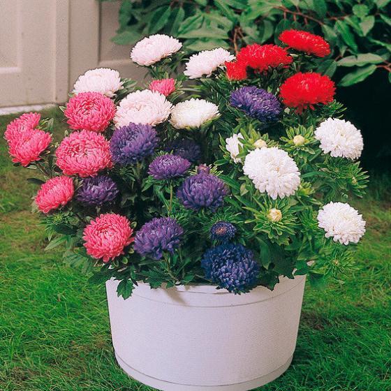 Aster Zwerg-Chrysanthemum-Mischung