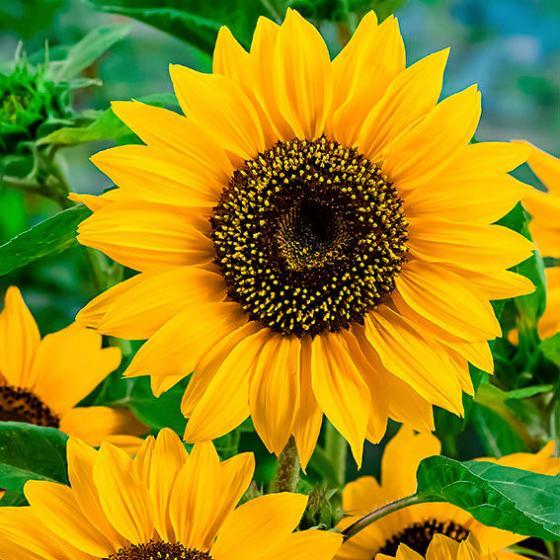 Sonnenblume Oranger Discus