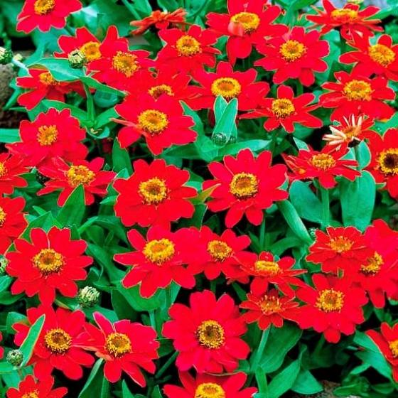 Zinniensamen Profusion Cherry Red