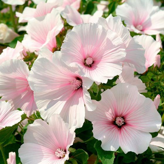Bechermalvensamen Pink Blush