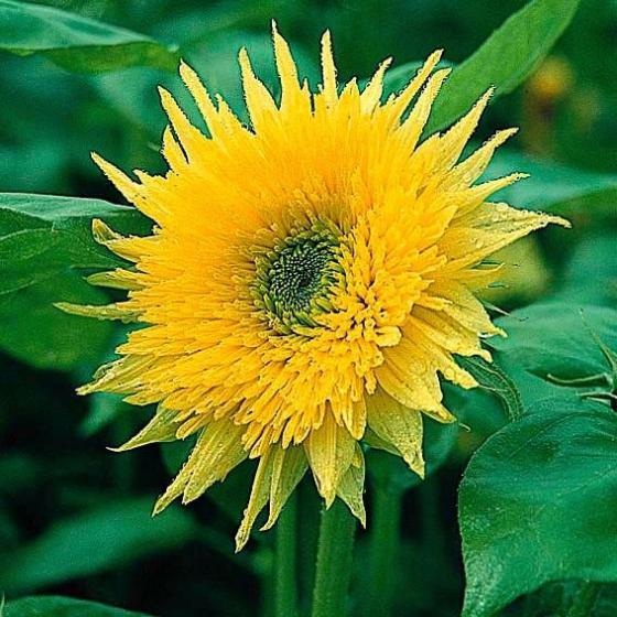 Sonnenblume Starburst Aura F1