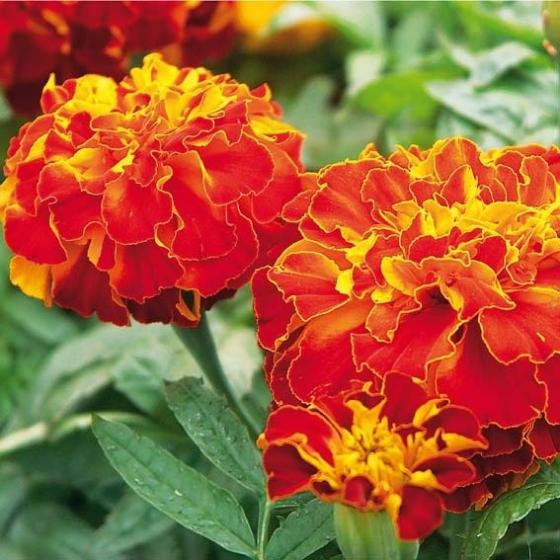 Tagetes Zenith Red F1