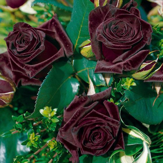 Rose Black Baccara®