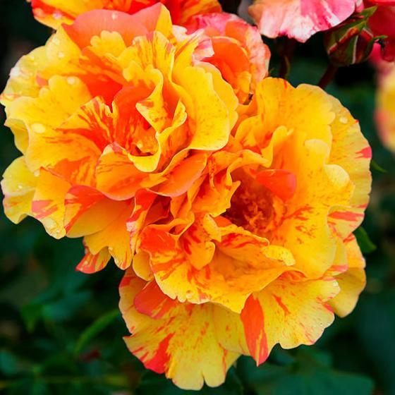 Rose Fruite®