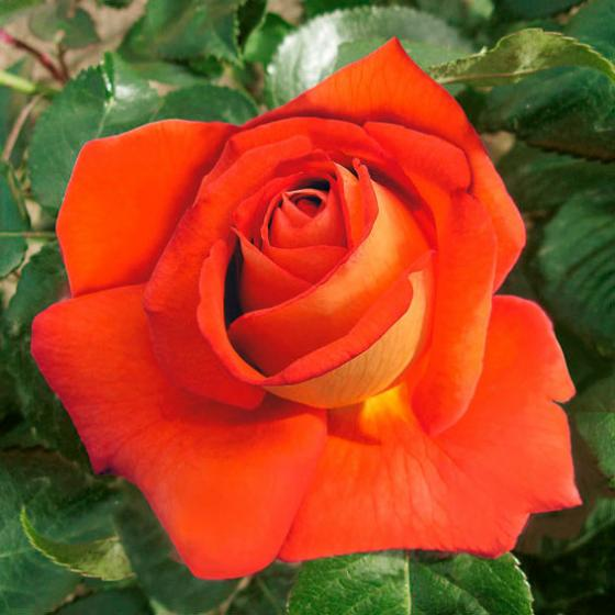 Rose Magdalena®