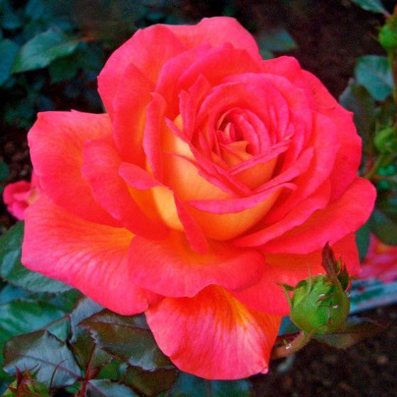 Edelrose Parfum de Grasse®, im ca. 17 cm-Einpflanz-Topf