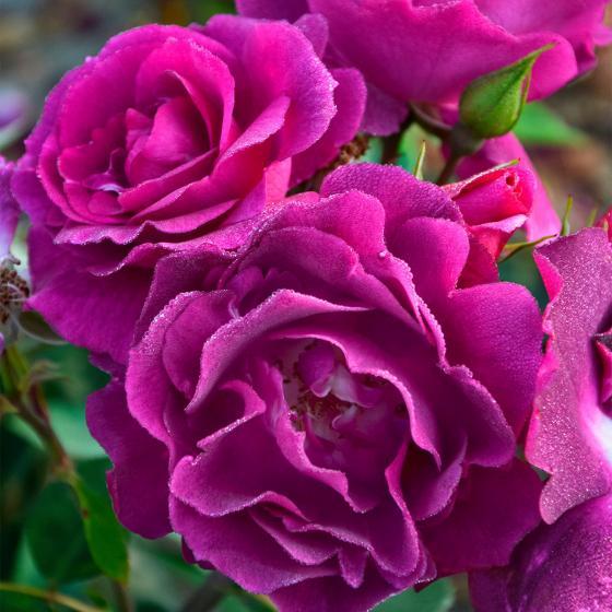 Rose Bluebell®, XL-Qualität