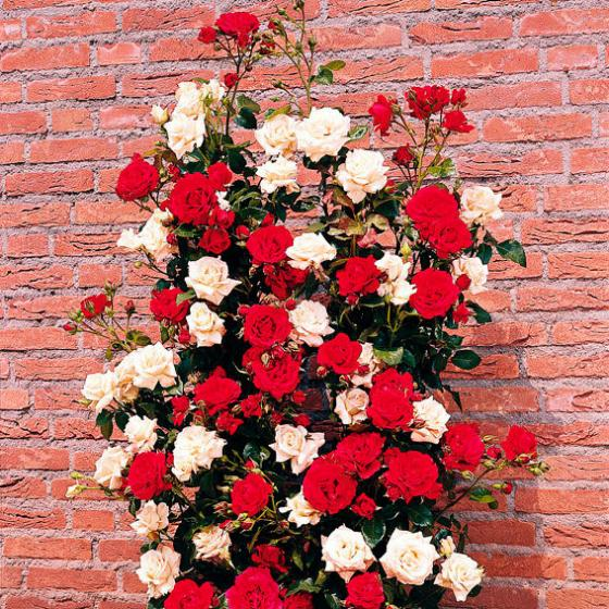 Rose Duo Kletterrose Paul's Scarlet & Snow Princess