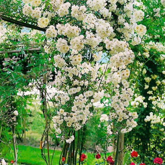 Kletterrose Gärtner Pötschkes Blütenwolke, XL-Qualität