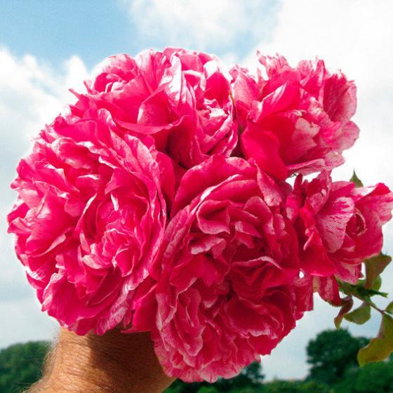 Rose Colibri Farbfestival, XL-Qualität