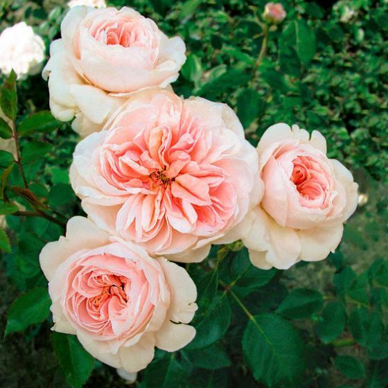 Rose Sabrina®