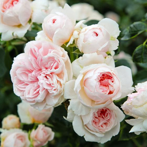 Rose Sabrina®, im 5-Liter-Topf