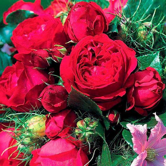 Strauchrose Red Eden Rose®