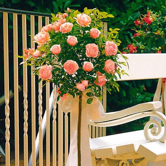 Meister-Rose® Cornelia Pötschke®, Stamm, im ca. 26 cm-Topf