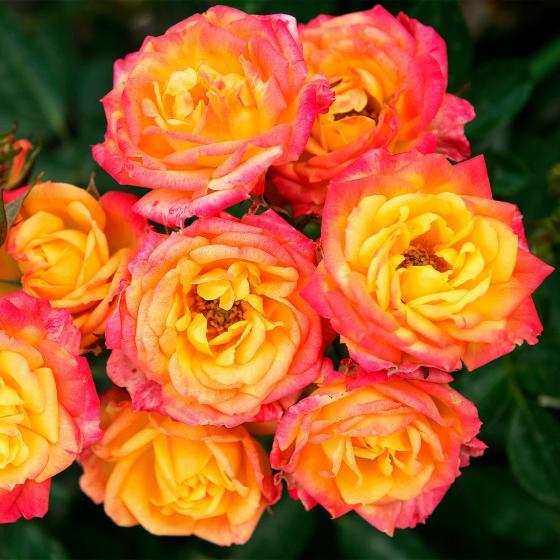 Rose Lilliputs® Little Sunset®