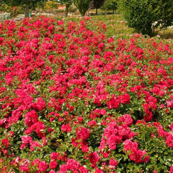 Bodendeckerrose Gärtnerfreude®, XL-Qualität
