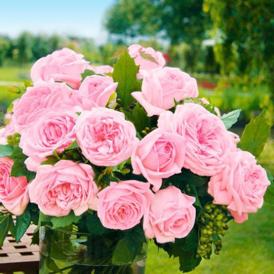 Rose Meister-Rose® Gärtner Pötschkes Jubilee, im 5-Liter-Topf