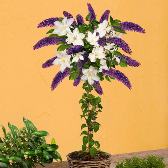 Flieder-Stamm Black Knight + Clematis Madame Le Coultre