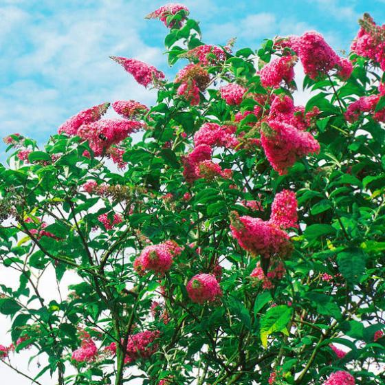 Sommerflieder Royal Red