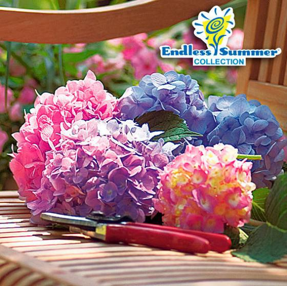 Hortensie Endless Summer® The Original
