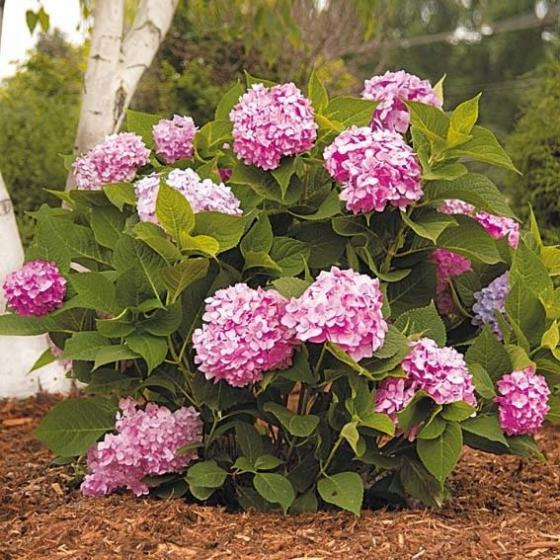 Hortensie Endless Summer® The Original, rosa, im ca. 23 cm-Topf