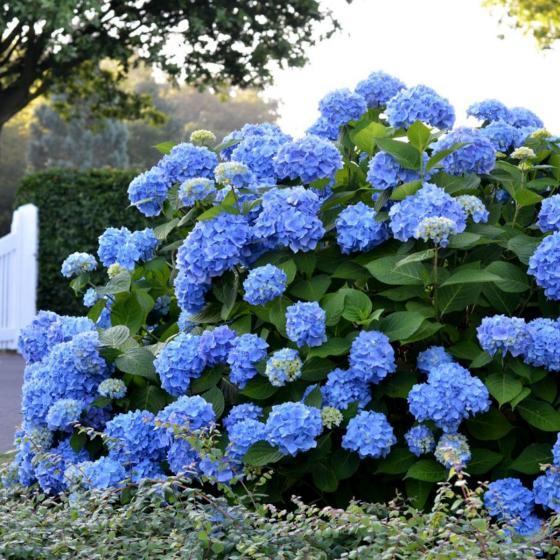 Hortensie Endless Summer® The Original, blau, im ca. 23 cm-Topf