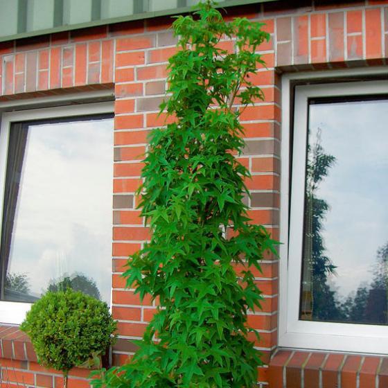 Gärtner Pötschkes Säulen-Amberbaum