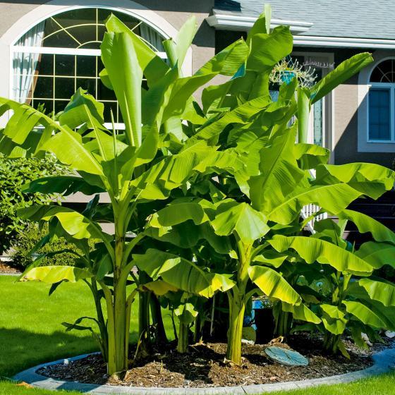 Winterharte Banane, im ca. 12 cm-Topf