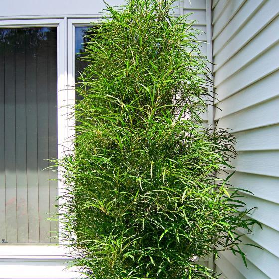 Säulenfarn-Baum Fine Line®