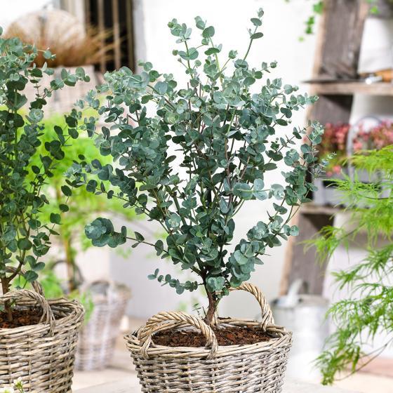Eis-Eukalyptus Azura
