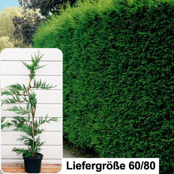 Leylandzypresse, 60-80cm