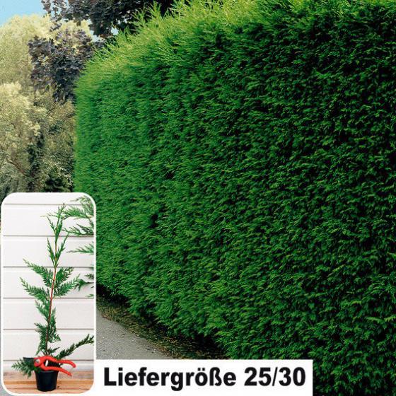 Leylandzypresse, im ca. 9 cm-Topf, Höhe ca. 25-30cm