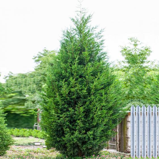 Leylandzypresse, im ca. 9 cm-Topf, Höhe ca. 25-30 cm