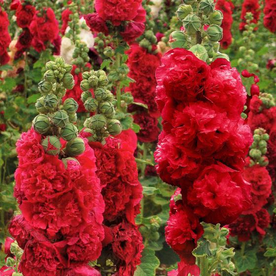 Gefüllte Stockrose, rot