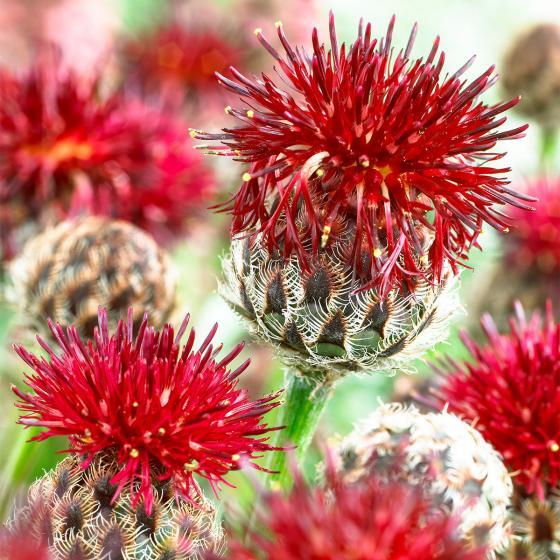Rote Berg-Flockenblume, im ca. 9 cm-Topf