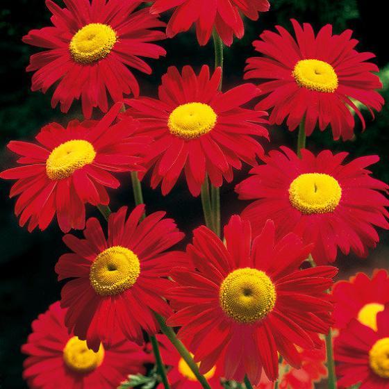 Garten-Margerite Robinsons Red