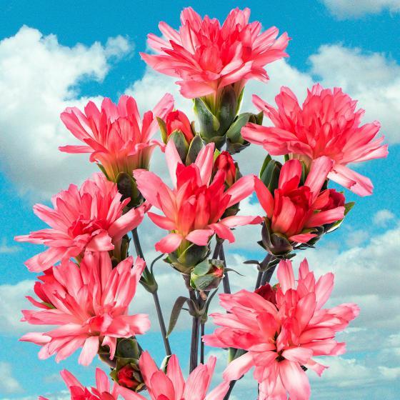 Garten-Nelke Tiara® Coral Pink