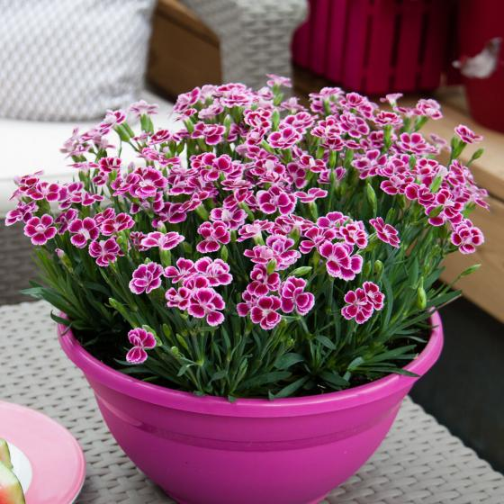 Prinzess-Nelke Pink Kisses®, im ca. 9 cm-Topf