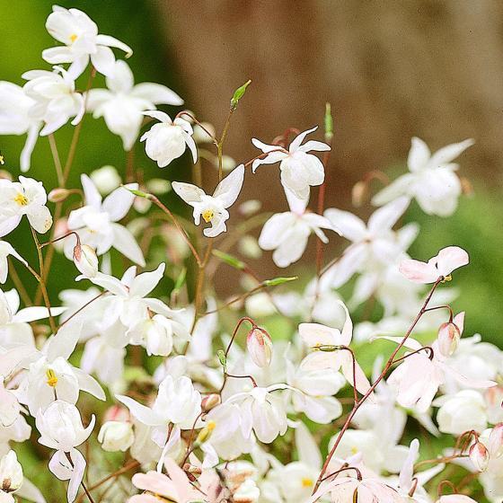 Weiße Elfenblume, im ca. 9 cm-Topf