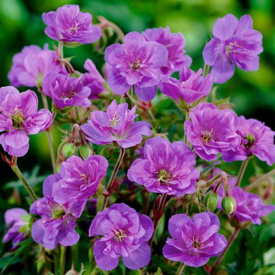 Rosen-Geranie Violaceum