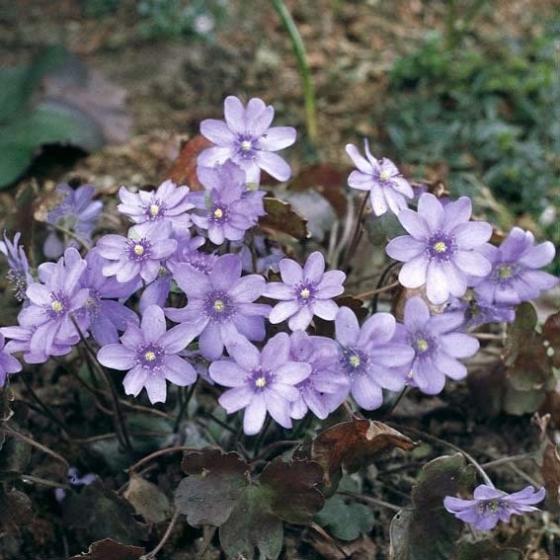Leberblümchen, im ca. 9 cm-Topf