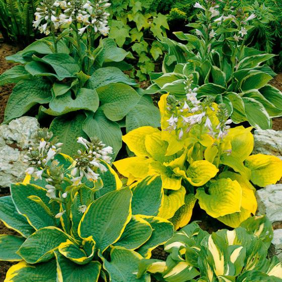 Stauden-Sortiment Hosta