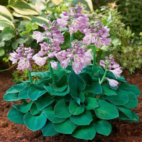 Mini-Hosta Blue Mouse Ears