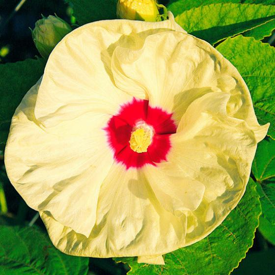 Riesen-Hibiskus Old Yella, im ca. 9 cm-Topf